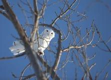 Snowy Owl in Tree. In Saskatchewan Canada Stock Photography