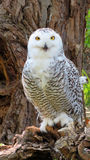 Snowy owl in tree Stock Photo