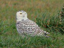 Snowy Owl Up Close Stock Images