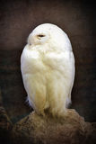 Snowy owl vintage Royalty Free Stock Photography