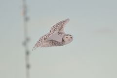 Snowy Owl watching from the wing Royalty Free Stock Image