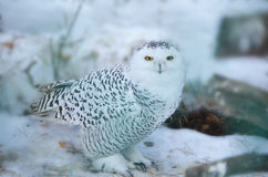 Snowy owl in the wild Royalty Free Stock Photo