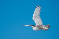 Snowy Owl Stock Photography