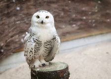 Snowy owl on wooden texture Royalty Free Stock Photos