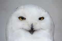 Snowy owl (Bubo scandiacus). Royalty Free Stock Photos