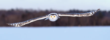 Snowy Owl &x28;Bubo Scandiacus&x29; Hunting Over A Snow Covered Field In Canada Stock Images