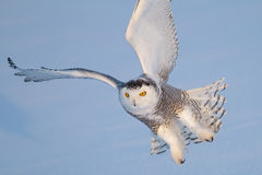 Snowy Owl &x28;Bubo Scandiacus&x29; Isolated Against A Blue Background Coming In For The Kill On A Snow Covered Field In Canada Royalty Free Stock Images