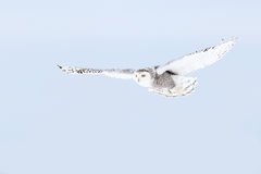 Snowy Owl &x28;Bubo Scandiacus&x29; Isolated Against A Blue Background Hunting Over An Open Snowy Field In Canada Stock Photo