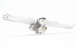 Snowy Owl &x28;Bubo Scandiacus&x29; Isolated Against A White Background Coming In For The Kill On A Snow Covered Field In Canada Stock Photo