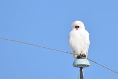 Snowy Owl yawning while perched Stock Photos