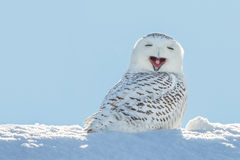 Snowy Owl - Yawning / Smiling in Snow. Snowy owl yawning, which makes it look like its laughing Stock Images