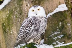 Snowy Owl. In ZOO Stock Photo