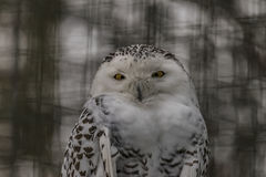 Snowy owl in ZOO Liberec in snowy day Stock Photo