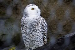 Snowy owl in the zoo looking away. A snowy owl in the zoo looking away Royalty Free Stock Image