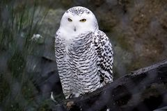 Snowy owl in the zoo looking evil. A snowy owl in the zoo looking evil Royalty Free Stock Images