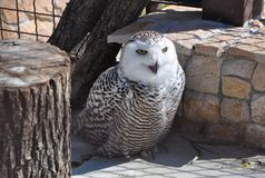 Snowy owl at the zoo royalty free stock images
