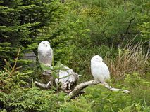 Snowy owls. Two snowy owls sit on a log Royalty Free Stock Photography