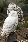 Snowy owls. Pair of Snowy owls, male and female Stock Photos