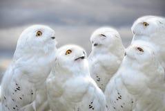 Free Snowy Owls Royalty Free Stock Photos - 96870958