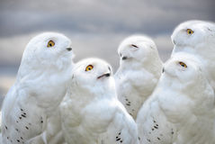 Snowy owls. Group of funny looking snowy owls Royalty Free Stock Photos