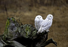 Snowy Owls. At 72nd st Vancouver BC Stock Images
