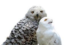 Snowy owls. On white Royalty Free Stock Photos