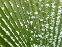 Snowy Palm Frond. In Texas, snow dusts a fan-shaped tropical palm frond royalty free stock photo