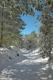 Snowy Path In The Etna Park, Sicily. Snowy path through winter pine woods in the Etna Park, Sicily royalty free stock image