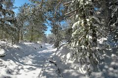 Snowy Path In The Etna Park, Sicily. Snowy path through winter pine woods in the Etna Park, Sicily royalty free stock images
