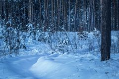 Snowy path leads into a fantastic winter forest with tall pine trees no one around Royalty Free Stock Images