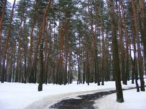 Snowy path scotch forest in Belarus. Minsk Royalty Free Stock Image