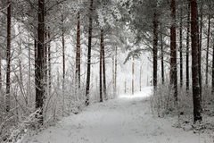 Snowy Path through the wintry forest Royalty Free Stock Image