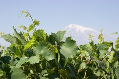Snowy peak of Mount Ararat behind grapevines in Armenia. Shot in Armenia, grapevines from a vineyard in the foreground while in the background, the snowy peak of Royalty Free Stock Image
