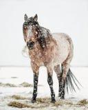 Snowy-Pferd Lizenzfreies Stockfoto