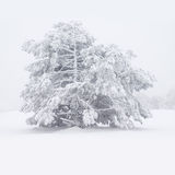 Snowy pine. Stock Photos