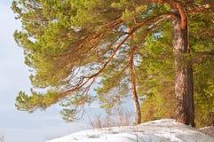 Snowy pine Stock Image