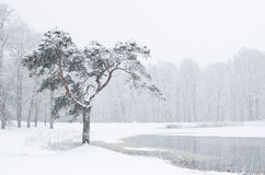 Snowy pine Stock Photography