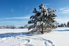 Snowy pine Royalty Free Stock Photo