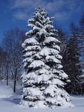 Snowy Pine. View of a tall pine tree covered with fresh snow Stock Photo
