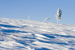 Snowy pine alone on hill. Side in sunshine royalty free stock photo