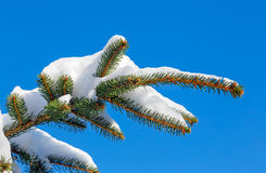 Snowy PIne Bough Royalty Free Stock Photos