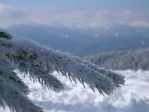 Snowy pine branch against the backdrop of the mountains. Large fir branch with snow in the mountains Royalty Free Stock Photography