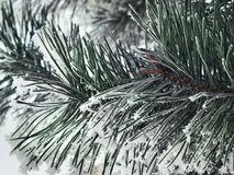 Snowy pine branch close up Stock Photos