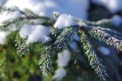 Snowy pine branch Royalty Free Stock Images