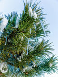 Snowy pine branch Stock Image
