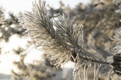 Snowy pine branch in the rays of the rising sun. In the photo the beginning of winter. In light of the rising sun a beautiful twig coniferous tree covered with vector illustration