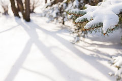Snowy Pine Branch Under Sunlight Royalty Free Stock Photography