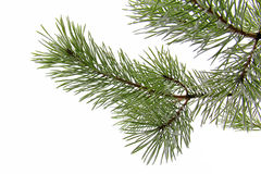 Snowy pine branch on white Royalty Free Stock Image