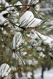 Snowy pine branches. Royalty Free Stock Photo