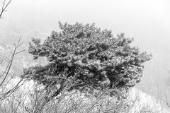 Snowy pine bush Royalty Free Stock Images
